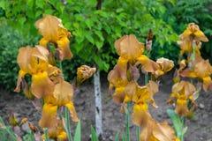 Großaufnahme eines Gelbs, braune Irisblume auf Hintergrund von g Lizenzfreie Stockfotografie