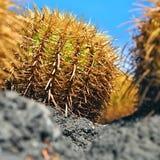 Großaufnahme eines großen Kaktus, ein echinocactus, Echinocactus-grusonii lizenzfreie stockfotografie