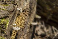 Großaufnahme von hölzernen Pilzen und Rest Bäume Lizenzfreie Stockfotos