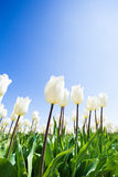 Großaufnahme von schönen weißen Tulpen während des Tages Stockfotos