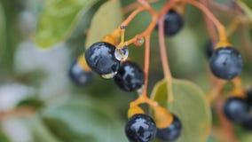 Großaufnahme von schwarzen gefrorenen Beeren auf Niederlassung am schneebedeckten Tag, grüne Blätter auf dem Hintergrund stock footage