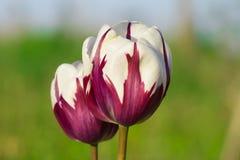 Großaufnahme von Tulpen einer schönen Zuckerstange im Garten stockbild