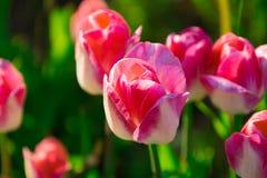 Großaufnahme von Tulpen eines Gruppenrosas im Garten stockfoto