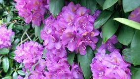 Großaufnahme zu blühendem purpurrotem Rhododendron Lizenzfreie Stockbilder