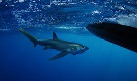Großauge-Dreschmaschinehaifischschwimmen Stockfoto
