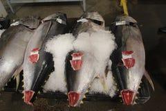 Großauge-Thunfisch lizenzfreies stockbild