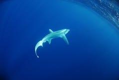 Großaugedreschmaschinehaifischschwimmen im Ozean lizenzfreie stockfotos