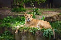 Großbritannien, England, London - 5. Mai 2013: Reizende Löwin am Zoo Lizenzfreie Stockbilder