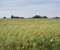 Großbritannien, Gloucestershire, Cotswolds-Mohnblumenfeld nahe Coates Stockbilder