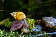 Große Achatina-Schnecke, die auf den Stein kriecht stockfotos
