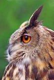 Große Adler-Eule Lizenzfreies Stockfoto