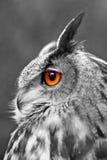 Große Adler-Eule Stockbilder