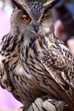 Große Adlereule in der Nahaufnahme Lizenzfreie Stockfotos