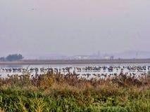 Große allgemeine Kranmengen, Grus Grus in Nationalpark HortobÃ-¡ GY, Ungarn stockbilder