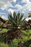 Große Aloe Stockfotografie