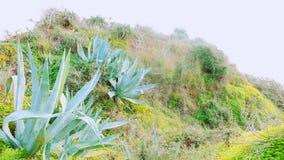Große Aloen auf Hügeln in Portugal stockfotografie