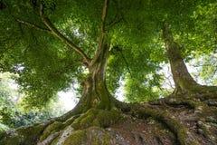 Große alte Bäume Lizenzfreie Stockfotografie