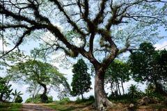 Große alte Bäume Stockfotos