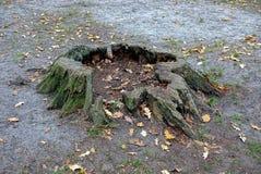 Große alte Baumwurzel im Boden in einem Herbstwald Stockfotos