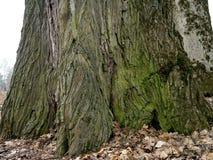 Große alte Eiche mit grünem Moos an der niedrigen Nahaufnahme Stockbild