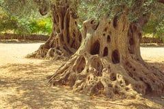 Große alte Olivenbaumwurzeln und -stamm Lizenzfreies Stockfoto