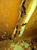 Große Ameisen Stockfoto