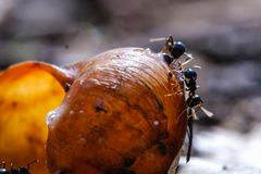 Große Ameisen essen Opfer durch Schnecke in der Kolonie, Makronahaufnahme stockbild