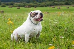 Große amerikanische Bulldogge Lizenzfreies Stockfoto