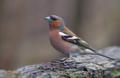 Große Aufstellung des männlichen gemeinen Buchfinken im Vorfrühling lizenzfreie stockfotos