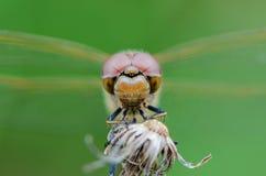 Große Augen, die Libelle sitzen Stockfotografie