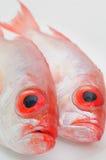 Große Augenfische Lizenzfreie Stockbilder