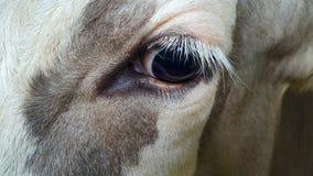 Große Augenkuh Lizenzfreies Stockbild