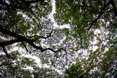 Große Bäume Stockbild