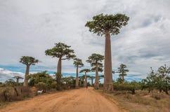 Große Bäume in Avenue de Baobab - Madagaskar Stockbild