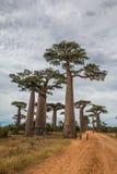 Große Bäume in Avenue de Baobab in Madagaskar Stockfoto