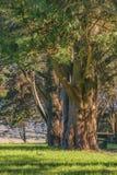 Große Bäume an der Landschaft, Maldonado, Uruguay Stockbild