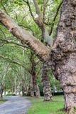 Große Bäume entlang gepflasterter Bahn innerhalb des Naturstadtparks stockbilder
