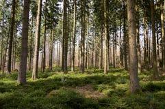 Große Bäume im Holz Stockfotos