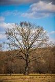 große Bäume im Vorfrühling Stockfotos
