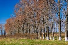 große Bäume im Vorfrühling Lizenzfreie Stockbilder