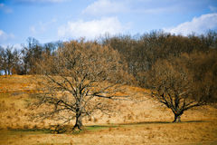 große Bäume im Vorfrühling Stockfoto