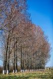 große Bäume im Vorfrühling Lizenzfreies Stockfoto