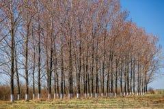 große Bäume im Vorfrühling Lizenzfreie Stockfotos