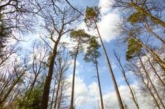 Große Bäume von der Ansicht von unten in den Ardennen, Belgien Lizenzfreie Stockfotos