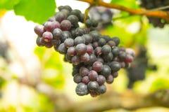 Große Bündel der roten Weinreben auf der Rebe Stockbilder