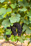 Große Bündel der Weinrebe Stockfotos