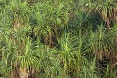 Große Büsche der grünen frischen und trockenen Aloe lizenzfreie stockbilder