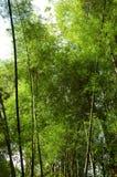 Große Bambusstiele! Stockbild