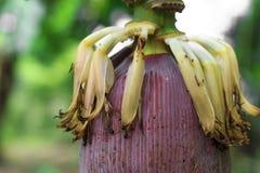 Große Bananenblüte Lizenzfreie Stockfotografie