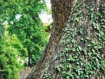 Große Baum-Stämme mit dem Klettern von Ivy Plants Stockfoto
